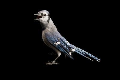 https://imgc.artprintimages.com/img/print/a-blue-jay-cyanocitta-cristata-at-the-university-of-nebraska-lincoln_u-l-q11u4dm0.jpg?p=0