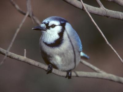 A Blue Jay, Cyanocitta Cristata, Perched on a Tree Branch-Bates Littlehales-Photographic Print