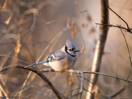 A Blue Jay (Cyanocitta Cristata) Sits in a Tangle of Tree Branches-Joel Sartore-Photographic Print