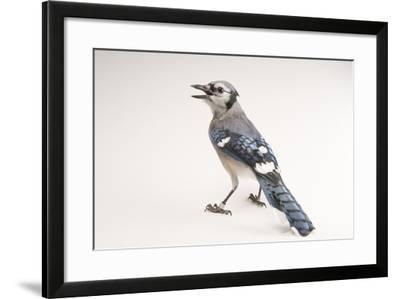 A Blue Jay, Cyanocitta Cristata.-Joel Sartore-Framed Photographic Print