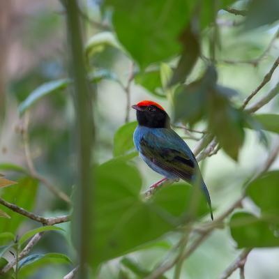 A Blue Manakin, Chiroxiphia Caudata, Bird Rests on a Branch in Ubatuba, Brazil-Alex Saberi-Photographic Print