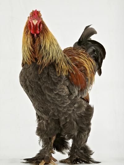 A Blue Partridge Brahma, a Rare Breed of Chicken from Tatton Park Farm-Jim Richardson-Photographic Print