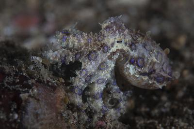 https://imgc.artprintimages.com/img/print/a-blue-ringed-octopus-lings-to-the-seafloor-in-lembeh-strait-indonesia_u-l-q12speq0.jpg?p=0