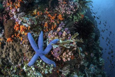 A Blue Starfish Clings to a Reef in Komodo National Park, Indonesia-Stocktrek Images-Photographic Print