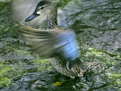 A Blue-Winged Teal Duck Flapping it's Wings-Raymond Gehman-Photographic Print