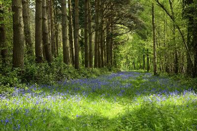 A Bluebell Wood in Oxfordshire, England in Early Summer-Arbor Images-Photographic Print