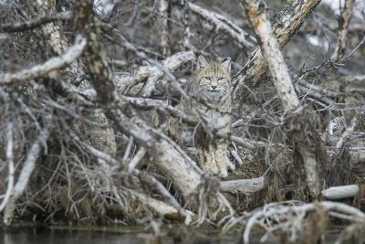 A Bobcat Has Perfect Camouflage as it Sits in a Fallen Tree-Barrett Hedges-Photographic Print