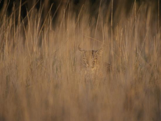 A Bobcat Hides in the Overgrowth-Roy Toft-Photographic Print