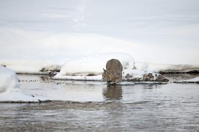 A Bobcat, Lynx Rufus, Crouched to Leap across Water-Robbie George-Photographic Print