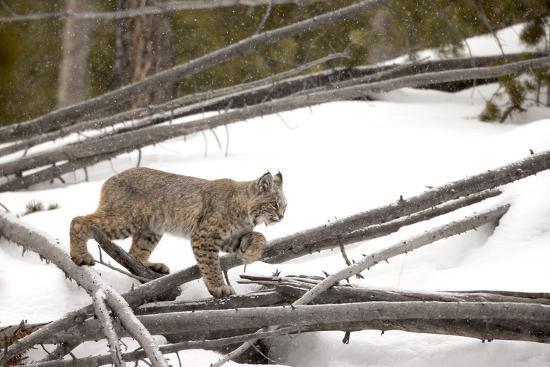A Bobcat, Lynx Rufus, Walking Through a Snowy Landscape-Robbie George-Photographic Print