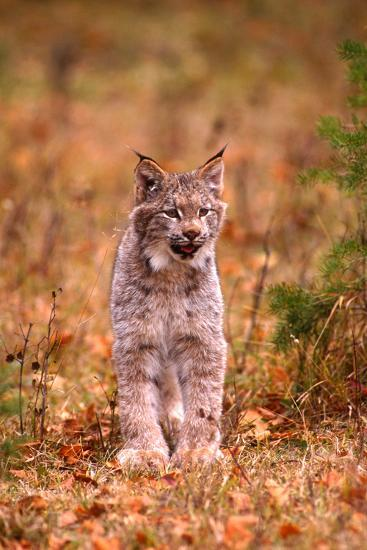 A Bobcat Out Hunting in an Autumn Colored Forest-John Alves-Photographic Print