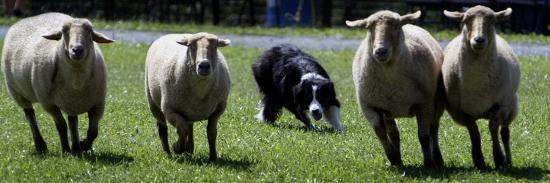 A Border Collie Demonstrates Sheep Herding--Photographic Print