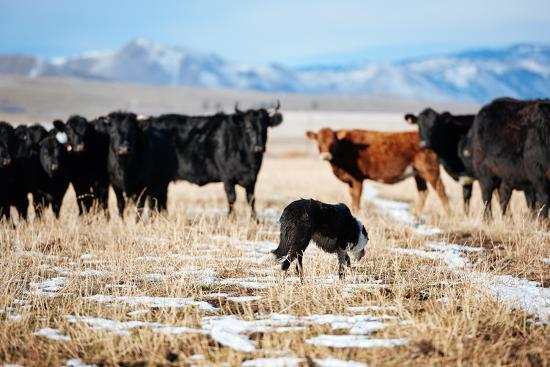A Border Collie Herds Cattle In Northern Nevada On A High Desert Ranch-Shea Evans-Photographic Print