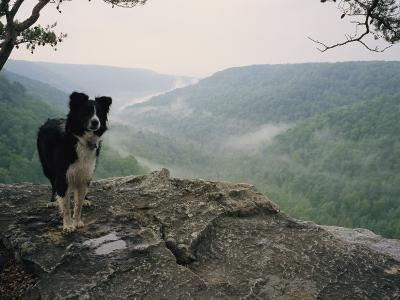 A Border Collie Stands on the Bluff at Ravens Point, Tennessee-Stephen Alvarez-Photographic Print