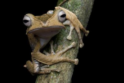 A Borneo Eared Frog, Polypedates Otilophus, Rests on a Tree Branch-Robin Moore-Photographic Print