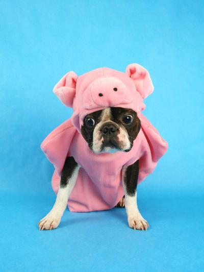 A Boston Terrier In A Pig Costume-graphicphoto-Photographic Print