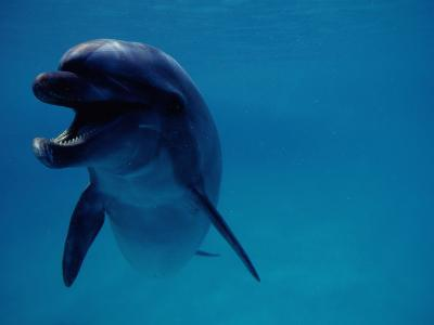A Bottlenose Dolphin Swims in the Aquarium at Sea Life Park-Chris Johns-Photographic Print