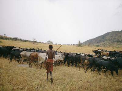 A Boy Tends to His Herd of Cattle-Joe Scherschel-Photographic Print