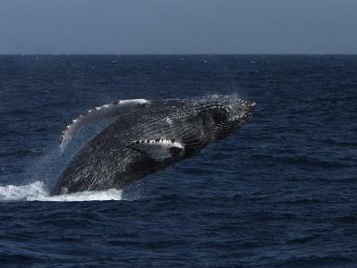 A Breaching Humpback Whale in the Sea of Cortez-Ralph Lee Hopkins-Photographic Print