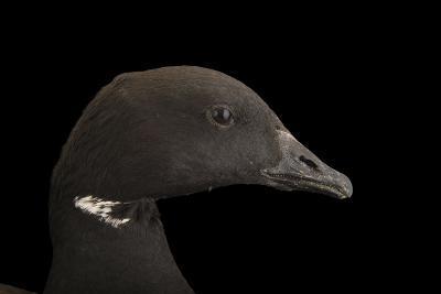 A Brent Goose, Branta Bernicla, at Sylvan Heights Bird Park-Joel Sartore-Photographic Print
