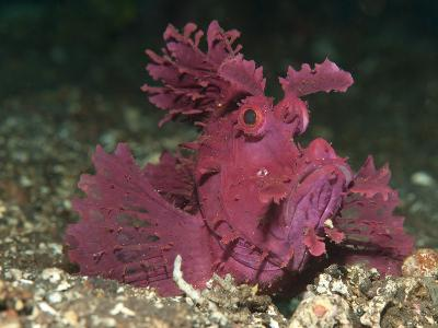 A Bright Pink-Purple Paddle-Flap Scorpionfish on Volcanic Sand, Bali--Photographic Print