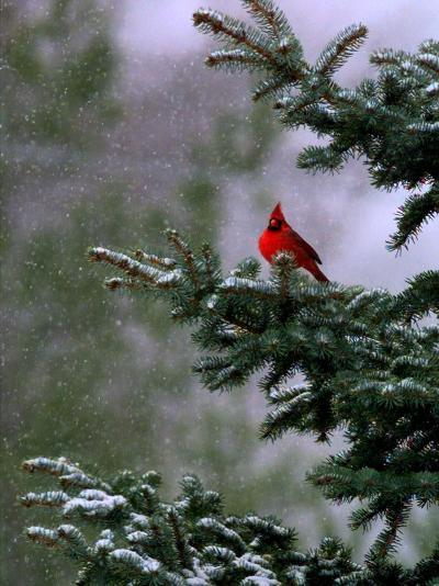 A Bright Red Cardinal--Photographic Print