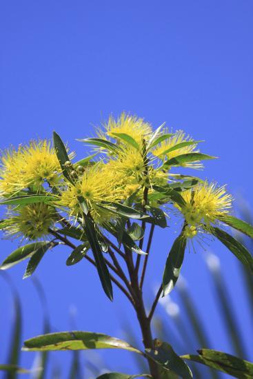 A Bright Yellow Wattle Tree in Suburban Cairns, Queensland, Australia-Paul Dymond-Photographic Print
