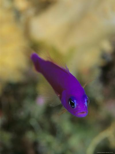 A Brightly Colored Magenta Dottyback Fish-Tim Laman-Photographic Print