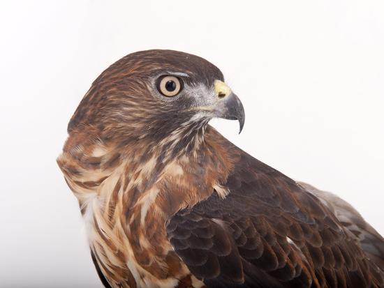 A Broad-Winged Hawk, Buteo Platypterus-Joel Sartore-Photographic Print