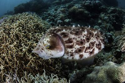 A Broadclub Cuttlefish Lays Eggs in a Coral Colony-Stocktrek Images-Photographic Print