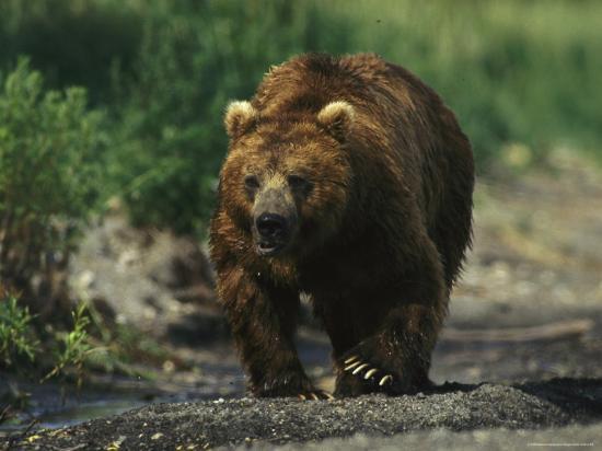 A Brown Bear Ambling Along a Shore-Klaus Nigge-Photographic Print
