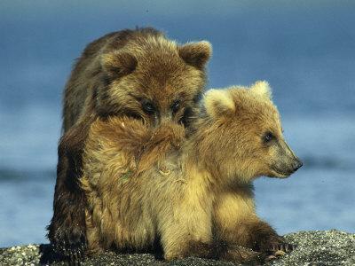 https://imgc.artprintimages.com/img/print/a-brown-bear-cubs-resting-on-a-sand-bar-in-a-river_u-l-p4s4xy0.jpg?p=0