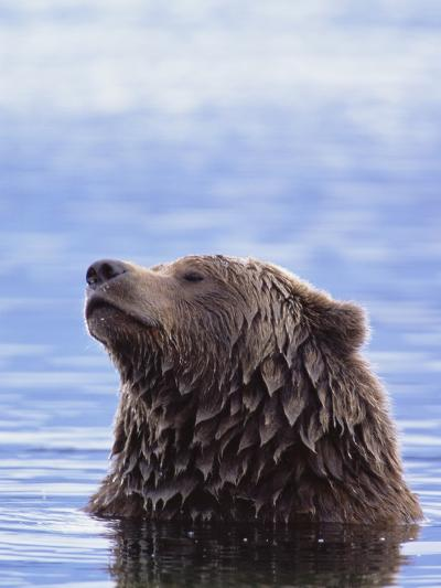 A Brown Bear Emerges from a Lake-John Eastcott & Yva Momatiuk-Photographic Print