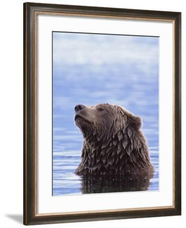 A Brown Bear Emerges from a Lake-John Eastcott & Yva Momatiuk-Framed Photographic Print