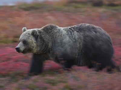 A brown bear hunts for fruit in a blueberry patch-Michael Melford-Photographic Print
