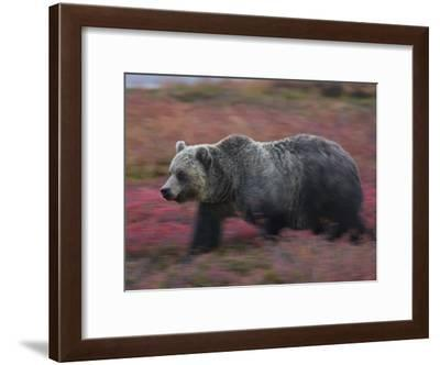 A brown bear hunts for fruit in a blueberry patch-Michael Melford-Framed Photographic Print