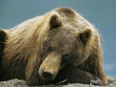 A Brown Bear Lounging on a Shore-Klaus Nigge-Photographic Print