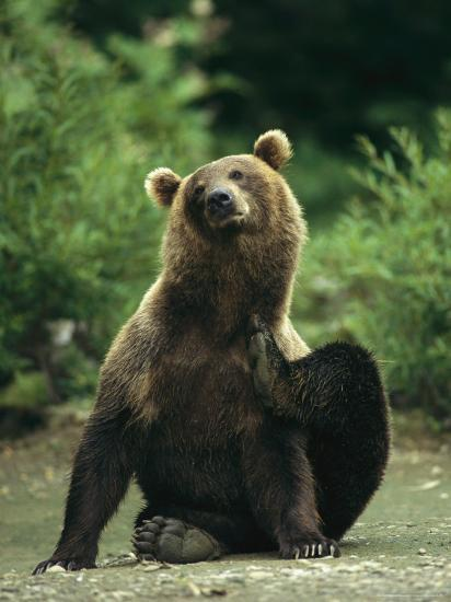 A Brown Bear Scratching an Itch-Klaus Nigge-Photographic Print