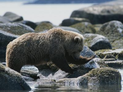 A Brown Bear Sow on a Rocky Shore-Tom Murphy-Photographic Print