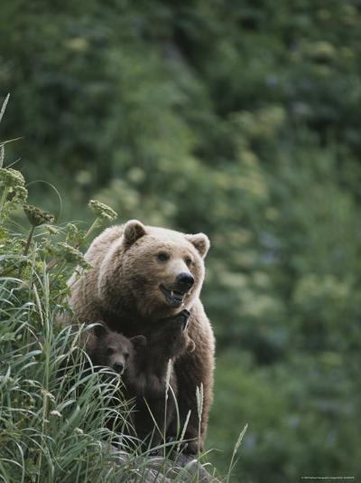 A Brown Bear Sow with Her Twin Cubs--Photographic Print