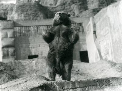 A Brown Bear Stands Upright on its Hind Legs, Mappin Terraces, London Zoo, August 1921-Frederick William Bond-Photographic Print