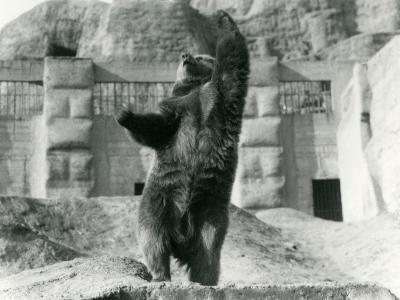 A Brown Bear Stands Upright on its Hind Legs-Frederick William Bond-Photographic Print