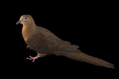 A Brown Cuckoo Dove, Macropygia Amboinensis, at the Wild Life Sydney Zoo-Joel Sartore-Photographic Print