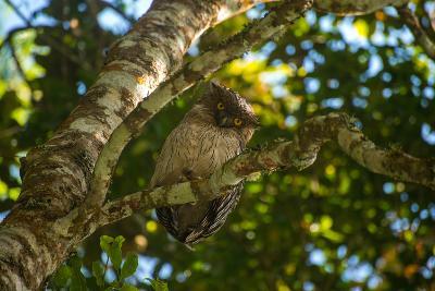 A Brown Fish Owl, Bubo Zeylonensis, Perches on a Tree Branch-Prasenjeet Yadav-Photographic Print
