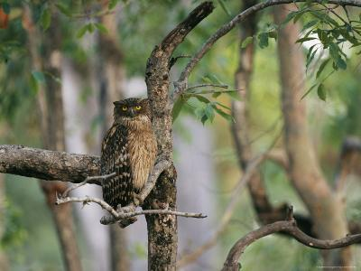 A Brown Fish Owl, Native to India, Perches in a Tree--Photographic Print