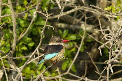 A Brown-Hooded Kingfisher, Halcyon Albiventris, Perches on a Tree Branch-Steve Winter-Photographic Print