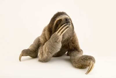 A Brown Throated Three Toed Sloth, Bradypus Variegatus.-Joel Sartore-Photographic Print