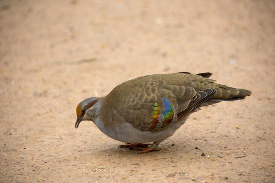 A Brush Bronzewing Pigeon, Phaps Elegans, at the Healesville Sanctuary-Joel Sartore-Photographic Print