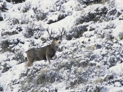 A Buck Mule Deer, Odocoileus Hemionus-Greg Winston-Photographic Print