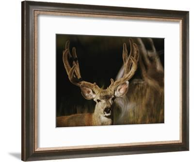 A Buck with His Antlers in Velvet-Dr. Maurice G. Hornocker-Framed Photographic Print